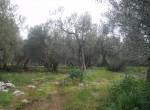 te koop in toscane bouwgrond met olijfgaard 1
