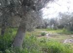 te koop in toscane bouwgrond met olijfgaard 2