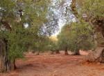 carovigno puglia bouwgrond olijfgaard te koop 1
