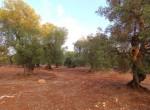 carovigno puglia bouwgrond olijfgaard te koop 10