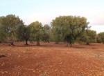carovigno puglia bouwgrond olijfgaard te koop 13