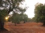 carovigno puglia bouwgrond olijfgaard te koop 2