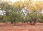 carovigno puglia bouwgrond olijfgaard te koop 3
