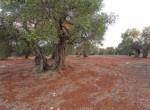 carovigno puglia bouwgrond olijfgaard te koop 4