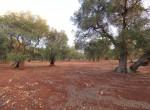 carovigno puglia bouwgrond olijfgaard te koop 5