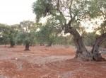 carovigno puglia bouwgrond olijfgaard te koop 7