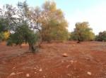 carovigno puglia bouwgrond olijfgaard te koop 8