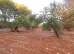 carovigno puglia bouwgrond olijfgaard te koop 9