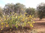 Terrein met te renoveren trulli te koop in Ostuni, Puglia 31