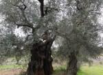 carovigno puglia bouwgrond met trullo te koop 8