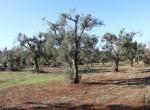 trullo olijfgaard te koop in Puglia, Carovigno - Italie 14