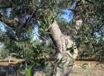 trullo olijfgaard te koop in Puglia, Carovigno - Italie 6