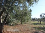 trullo olijfgaard te koop in Puglia, Carovigno - Italie 9