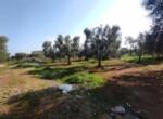 Carovigno terrein olijfbomen zeezicht te koop Puglia 11
