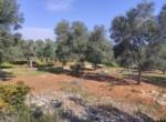Carovigno terrein olijfbomen zeezicht te koop Puglia 3