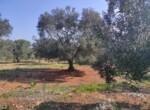 Carovigno terrein olijfbomen zeezicht te koop Puglia 4