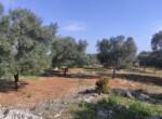 Carovigno terrein olijfbomen zeezicht te koop Puglia 5