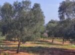 Carovigno terrein olijfbomen zeezicht te koop Puglia 6