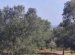 Carovigno terrein olijfbomen zeezicht te koop Puglia 7